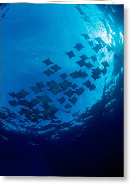 Elasmobranch Greeting Cards - Schooling Cownose Rays Greeting Card by Dave Fleetham - Printscapes