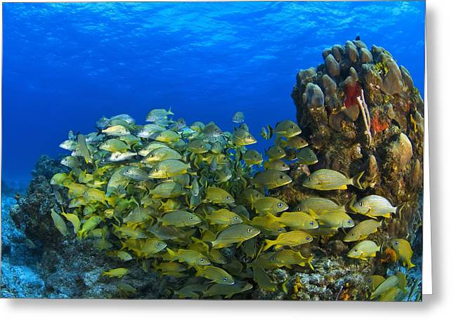 Grunts Greeting Cards - Schooling Fish On Coral Reef, Cozumel Greeting Card by Carson Ganci
