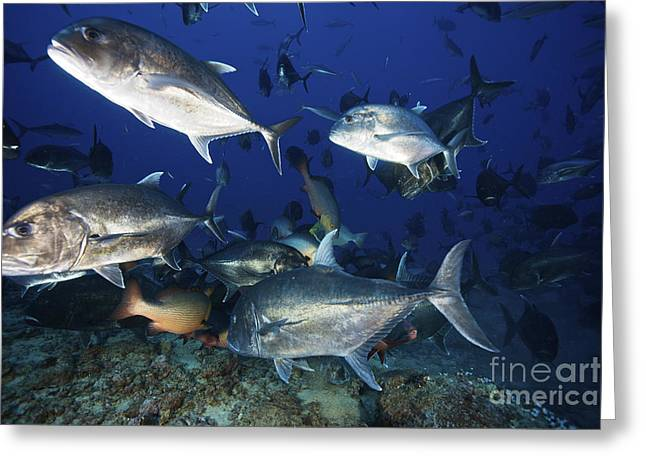 Undersea Photography Greeting Cards - Schooling Giant Trevally Muscle Greeting Card by Terry Moore