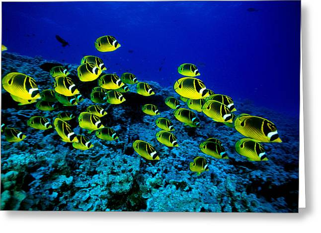 Reef Photos Greeting Cards - Schooling Raccoon Greeting Card by Dave Fleetham - Printscapes