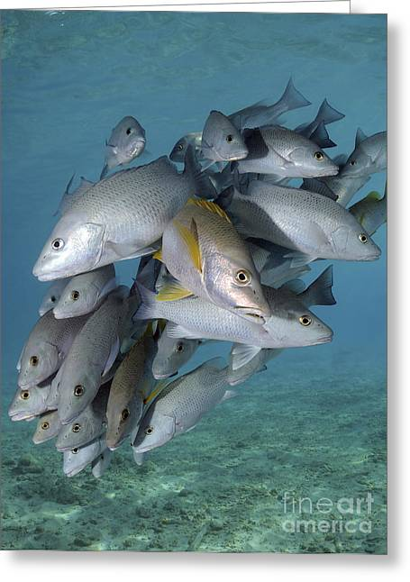 Snapper Greeting Cards - Schooling Snappers On Caribbean Reef Greeting Card by Karen Doody