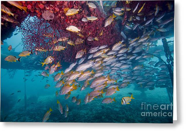 Undersea Photography Greeting Cards - Schools Of Gray Snapper, Yellowtail Greeting Card by Terry Moore