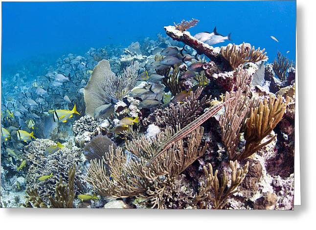 Schools Of Grunts And Snappers On Reef Greeting Card by Karen Doody