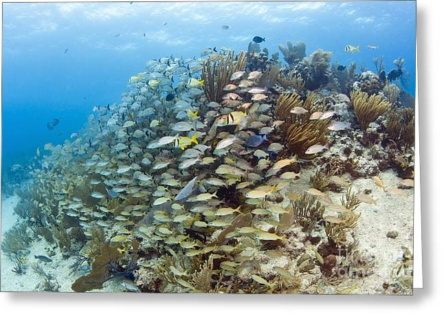 Undersea Photography Greeting Cards - Schools Of Grunts, Snappers, Tangs Greeting Card by Karen Doody