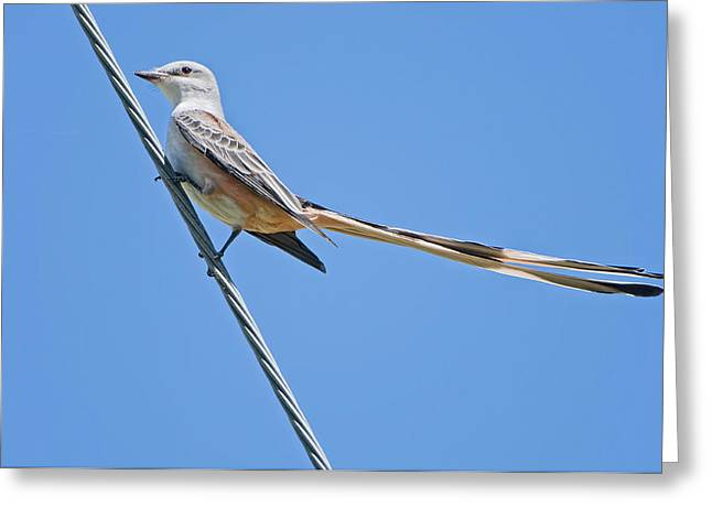 Scissor-tailed Flycatcher Greeting Card by Bonnie Barry