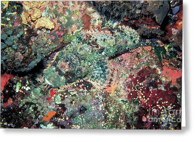 Scorpionfish Greeting Card by Gregory G. Dimijian