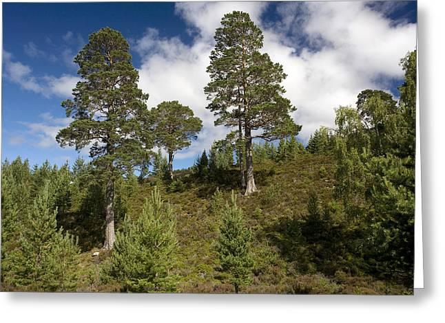 Pinus Greeting Cards - Scots Pine (pinus Sylvestris) Greeting Card by Bob Gibbons