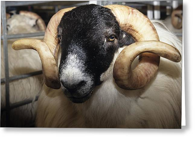 Blackface Greeting Cards - Scottish Blackface Ram Greeting Card by David Aubrey