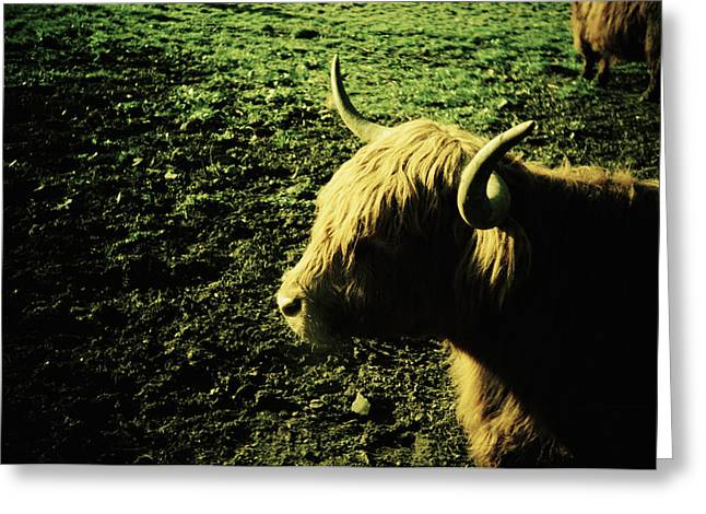 Wavy Hair Greeting Cards - Scottish Highland Cow Greeting Card by Kevin Curtis