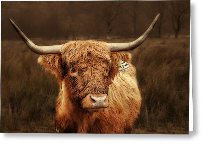 Single Greeting Cards - Scottish Moo Coo - Scottish Highland cattle Greeting Card by Christine Till