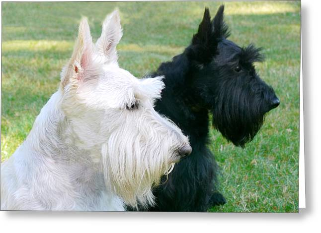 Purebreed Greeting Cards - Scottish Terrier Dogs Greeting Card by Jennie Marie Schell