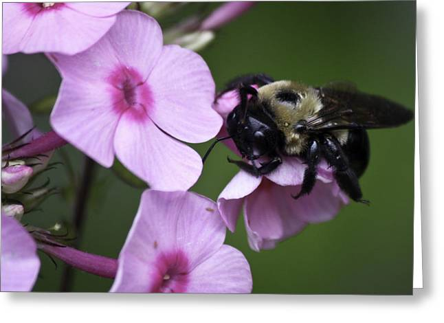 Phlox Greeting Cards - Scratch That Itch Greeting Card by Teresa Mucha