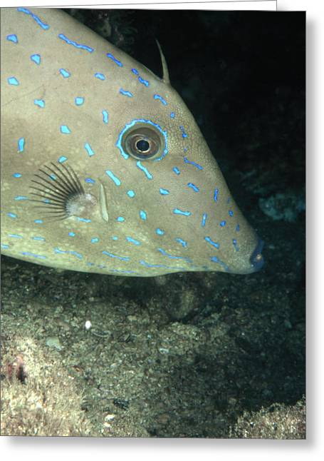Costa Greeting Cards - Scrawled Filefish Profile, Alutera Greeting Card by James Forte