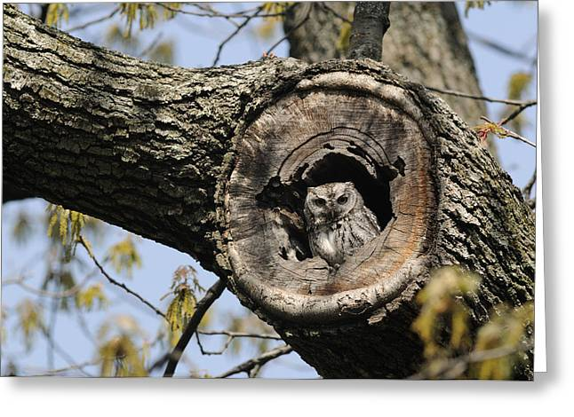 New England States Greeting Cards - Screech Owl In A Tree Hollow Greeting Card by Darlyne A. Murawski