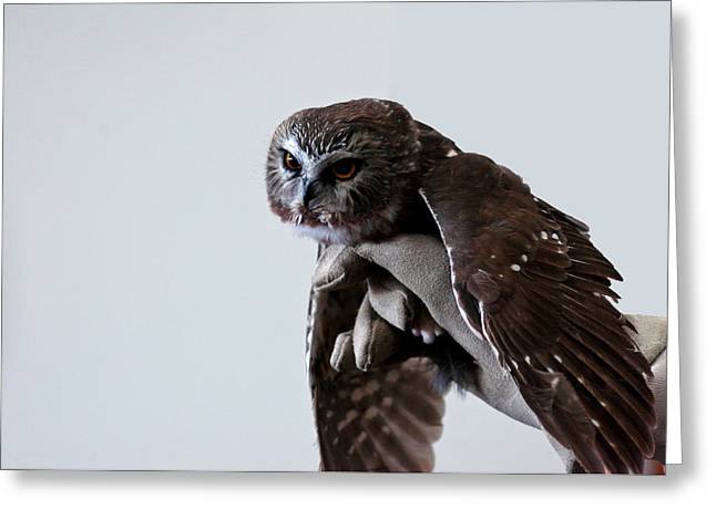 Screech Owl Greeting Card by LeeAnn McLaneGoetz McLaneGoetzStudioLLCcom
