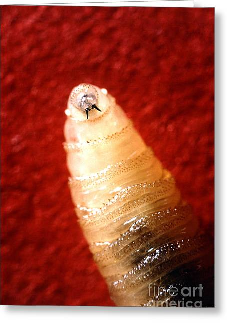 Mandible Greeting Cards - Screwworm Greeting Card by Science Source