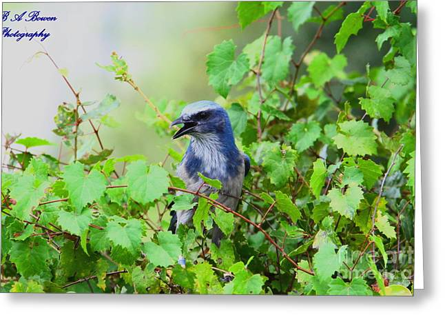 Oscar Scherer State Park Greeting Cards - Scrub Jay hiding in a grape vine Greeting Card by Barbara Bowen