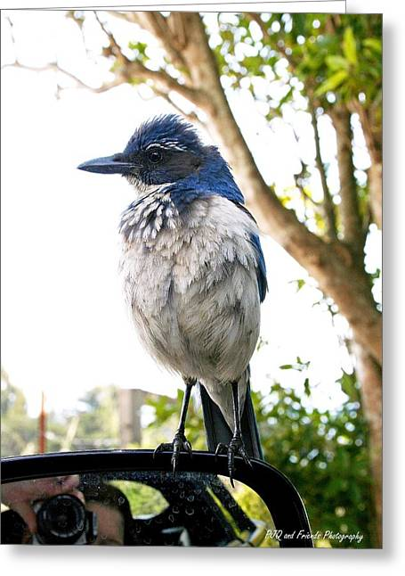 Pfeiffer Beach Greeting Cards - Scrub Jay on Spyder Greeting Card by PJQandFriends Photography