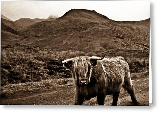 Scruffy Greeting Cards - Scruffy Higland Cow Greeting Card by Douglas Barnett