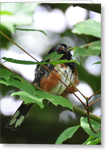 Brown Towhee Greeting Cards - Scruffy Towhee Sings Greeting Card by Ronda Broatch