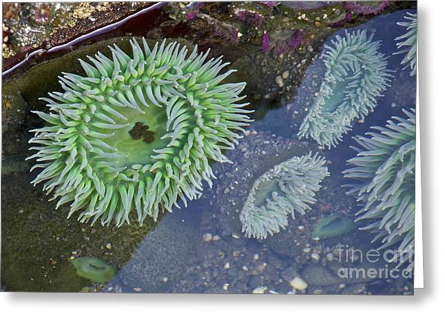 Sean Griffin Greeting Cards - Sea Anemones Greeting Card by Sean Griffin