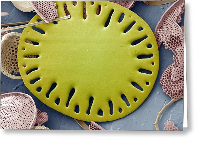 Plankton Greeting Cards - Sea Cucumber Plate Greeting Card by Steve Gschmeissner