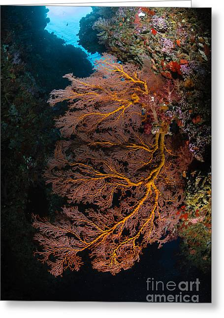 Indo-pacific Ocean Greeting Cards - Sea Fan And Soft Coral, Fiji Greeting Card by Todd Winner
