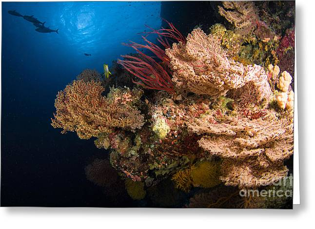 Sea Fan Greeting Cards - Sea Fans And Sea Whips, Australia Greeting Card by Todd Winner