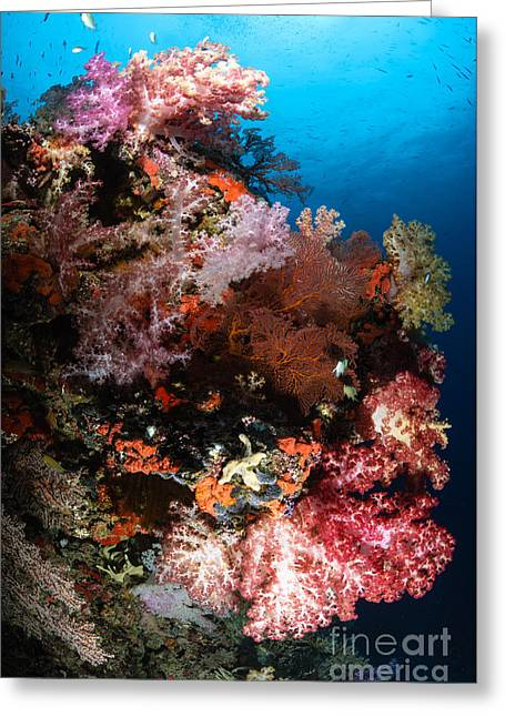 Cnidaria Greeting Cards - Sea Fans And Soft Coral, Fiji Greeting Card by Todd Winner