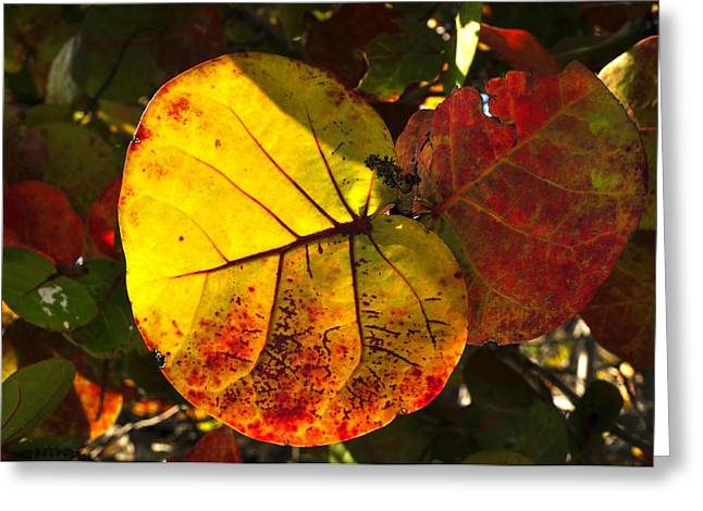 Grape Leaf Greeting Cards - Sea Grape Leaves Greeting Card by David Lee Thompson