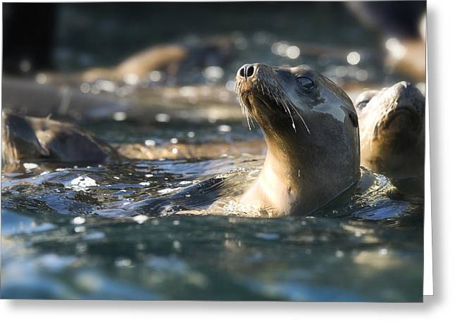 Lions Photographs Greeting Cards - Sea lion and Friends Greeting Card by Steve Munch