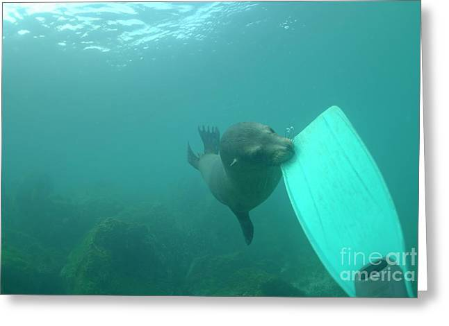 California Sea Lions Greeting Cards - Sea lion biting a diver flipper Greeting Card by Sami Sarkis
