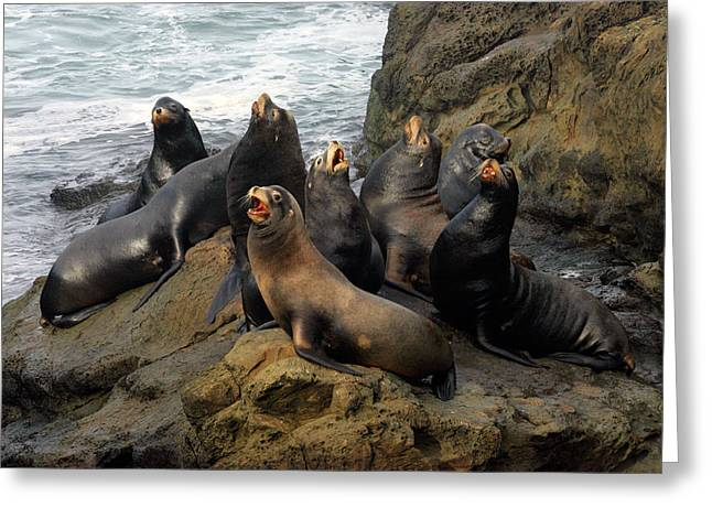 Sea Lions Greeting Cards - Sea Lion Chorus Greeting Card by Randall Ingalls