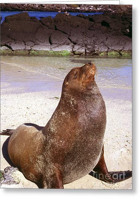 Sea Lions Greeting Cards - Sea Lion  on Genovesa Island Greeting Card by Thomas R Fletcher