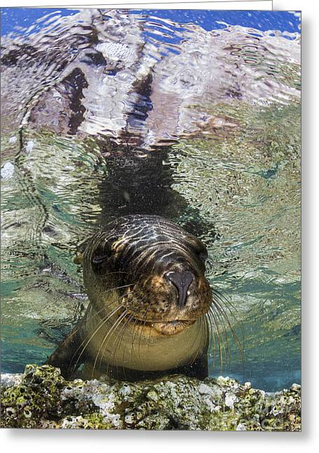 California Sea Lions Greeting Cards - Sea Lion Portrait, Los Islotes, La Paz Greeting Card by Todd Winner