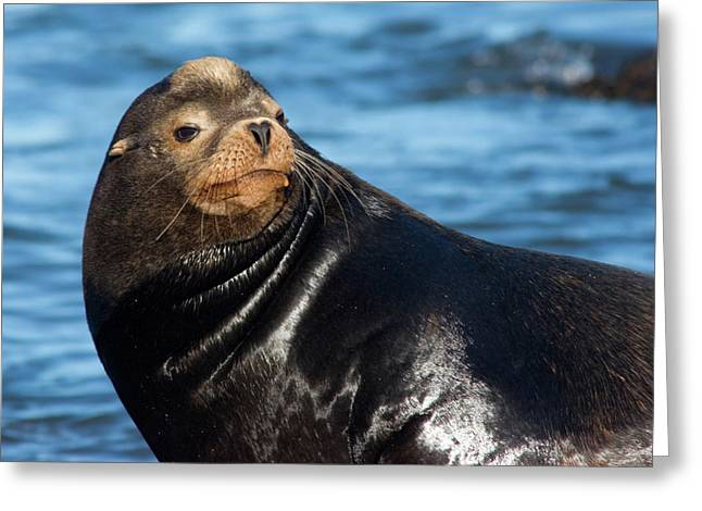 Sea Lions Greeting Cards - Sea Lion Posing Greeting Card by Randall Ingalls