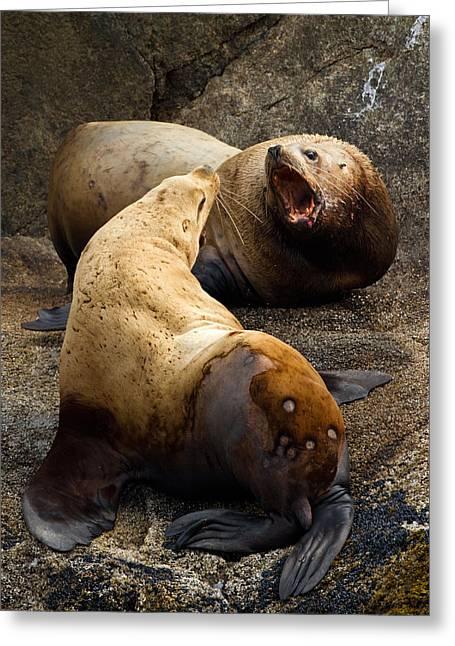 Sea Lions Greeting Cards - Sea Lion Roar Greeting Card by Adam Pender