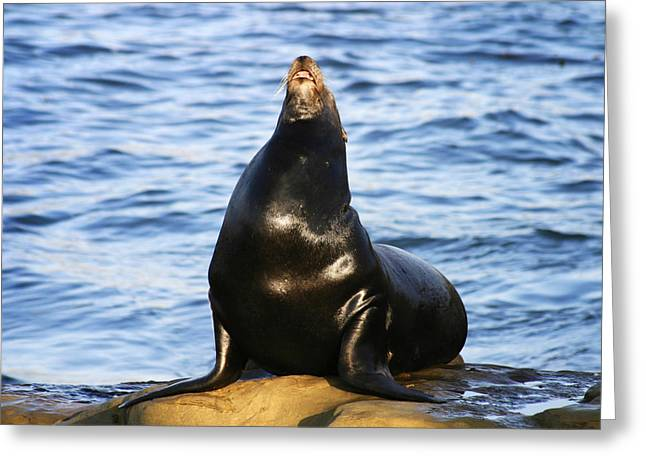 Sea Lions Greeting Cards - Sea Lion Sing Greeting Card by Anthony Jones