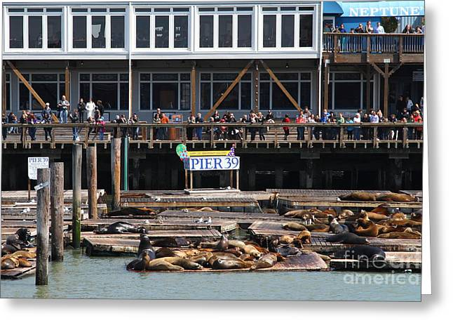 Sealions Greeting Cards - Sea Lions At Pier 39 San Francisco California . 7D14272 Greeting Card by Wingsdomain Art and Photography