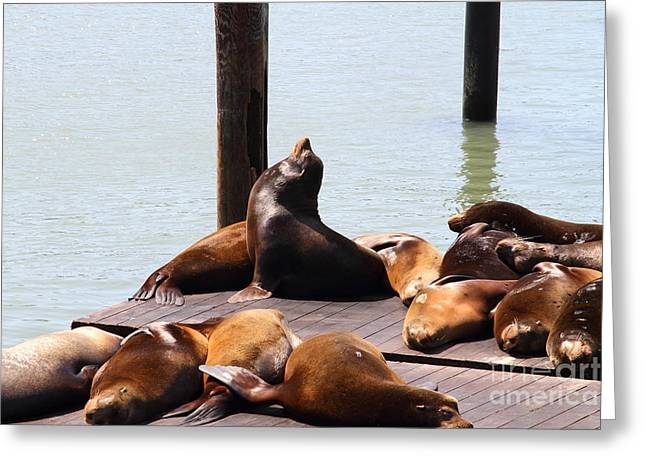 Sea Lions At Pier 39 San Francisco California . 7D14314 Greeting Card by Wingsdomain Art and Photography