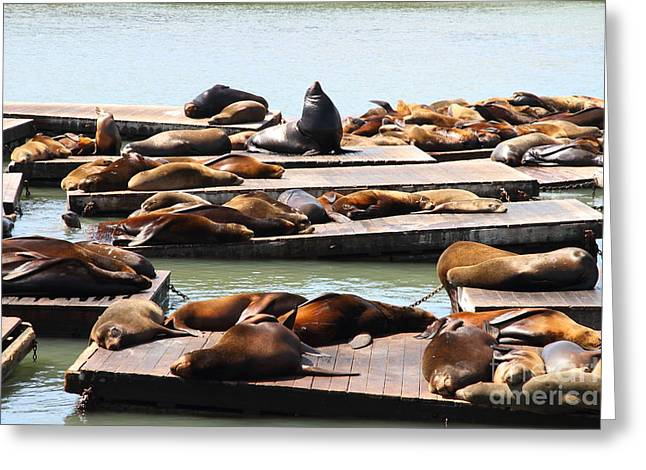 Sealions Greeting Cards - Sea Lions At Pier 39 San Francisco California . 7D14316 Greeting Card by Wingsdomain Art and Photography
