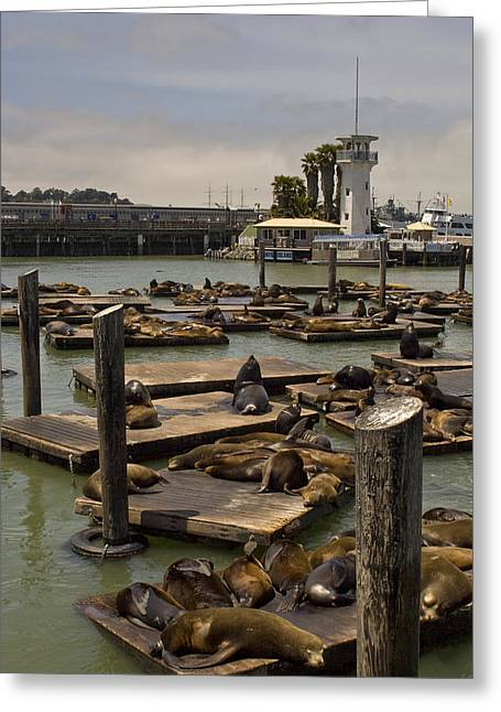 Recently Sold -  - California Sea Lions Greeting Cards - Sea Lions Bathe On The Wooden Docks Greeting Card by Hannele Lahti