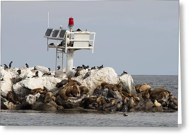 California Sea Lions Greeting Cards - Sea Lions on Monterey Breakwater 2 Greeting Card by Sakari Kouti
