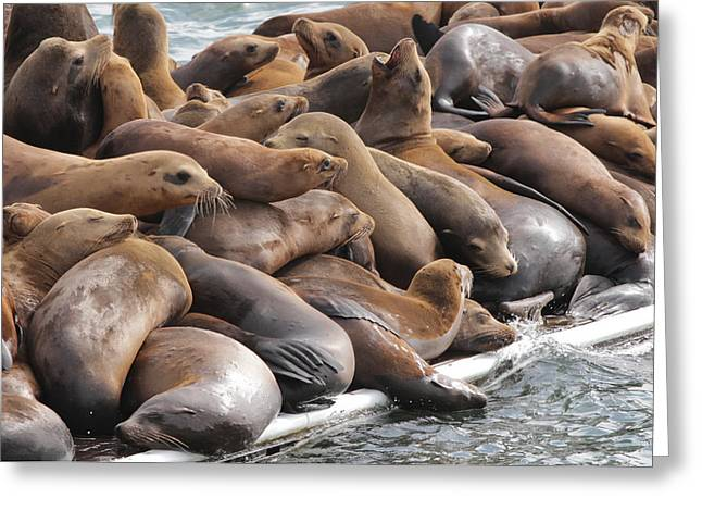 California Sea Lions Greeting Cards - Sea Lions on Monterey Pier Greeting Card by Sakari Kouti