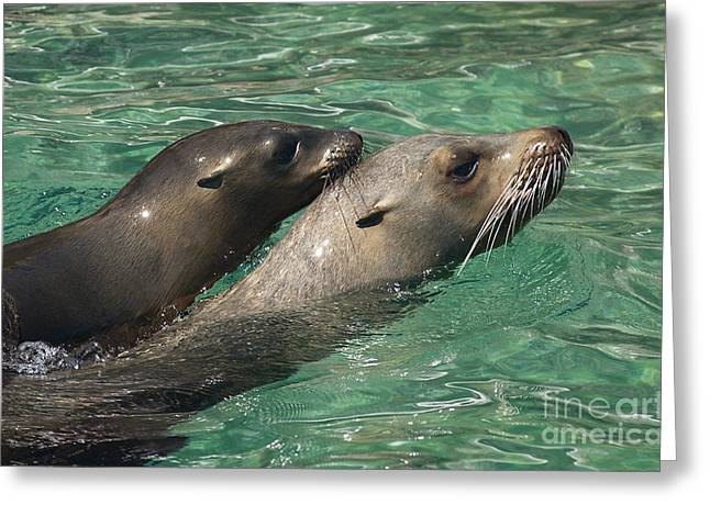 California Sea Lions Greeting Cards - Sea Lions Greeting Card by Raul Gonzalez Perez