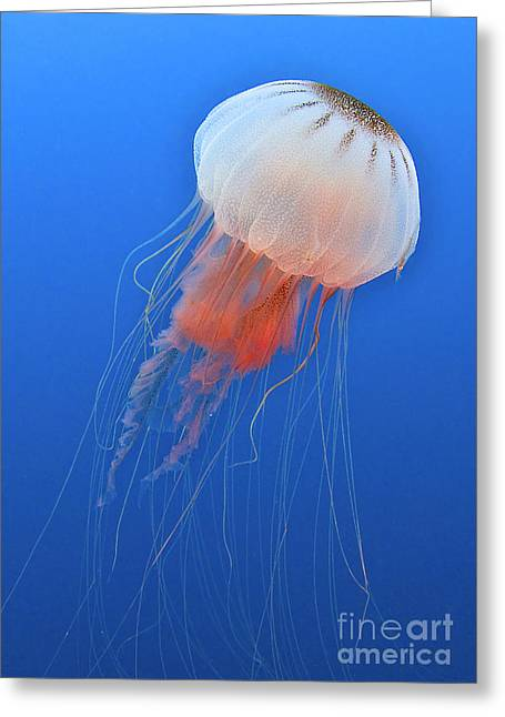 Blue Jellyfish Greeting Cards - Sea Nettle Is Host To A Small Shrimp Greeting Card by Karen Doody