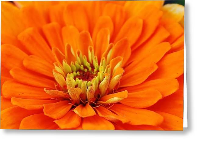 Zinnia Elegans Greeting Cards - Sea of Orange Greeting Card by Bruce Bley