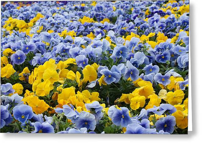 Powder Greeting Cards - Sea of Powder Blue and Yellow Pansies Greeting Card by Jamie Hein