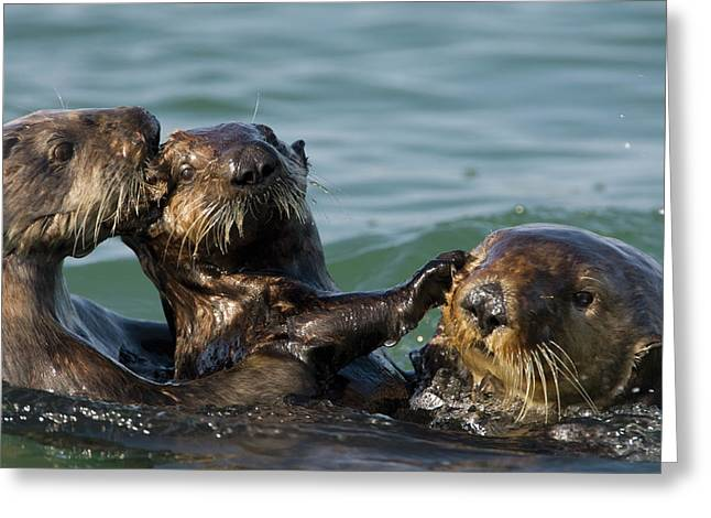 Monterey Bay Image Greeting Cards - Sea Otter Enhydra Lutris Bachelor Male Greeting Card by Suzi Eszterhas