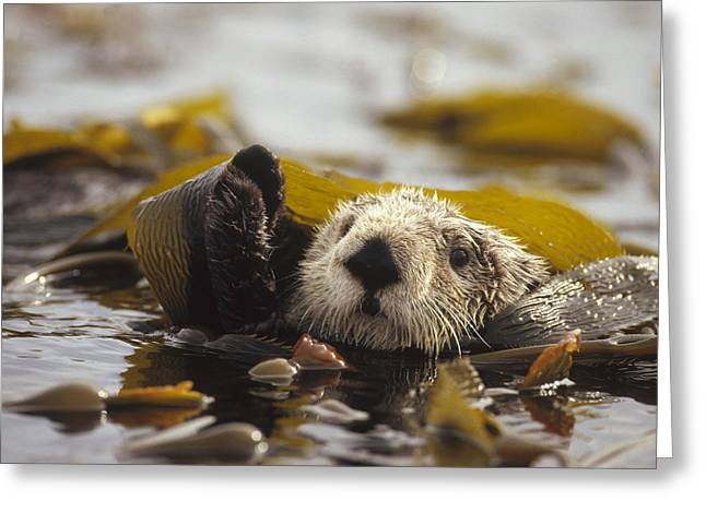 Sea Otter Enhydra Lutris Floating Greeting Card by Gerry Ellis